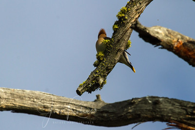 Cedar Waxwing from behind--I just like the geometry and color