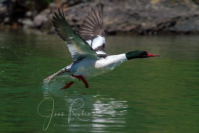 Male Merganser taking off