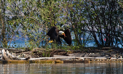Mom Eagle carrying lunch (don't look too closely)