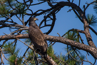 As they perfect their flying skills, they land in all sorts of environments--fun for an eagle-adoring photographer.