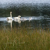 Trumpeter Swans on Tracy and Laura's Lake