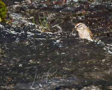 Chipping Sparrow  collecting insects