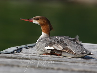 Female Merganser (she didn't see me and I didn't see her until I was very very close)
