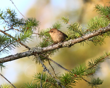 Young House Wren in the morning light