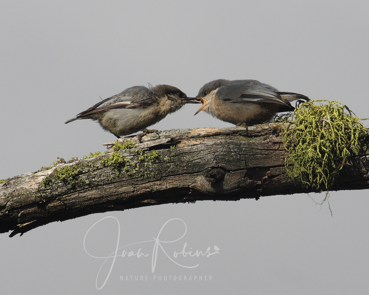 Nuthatch mom and chick, Flathead Lake, Montana