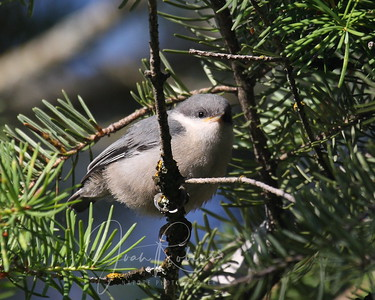 Nuthatch chick close up