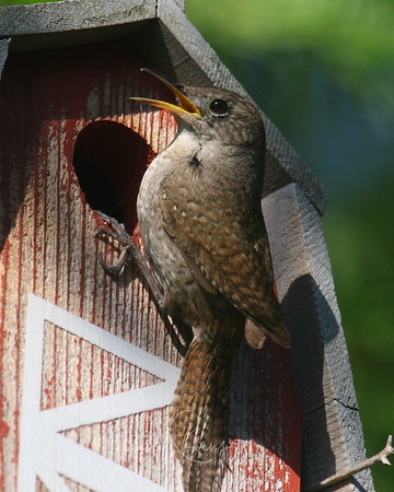 House Wren cleaning house