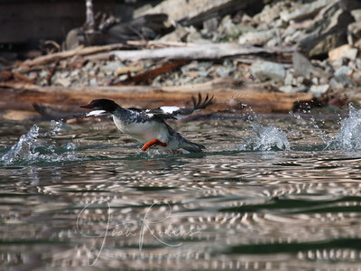 Male Merganser takes flight--the reflection of the rocks on the water makes a perfect camouflage for these ducks.