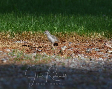 Spotted Sandpiper fluffy chick