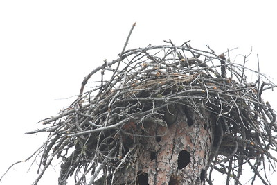 Osprey's built a new nest after their chicks died. So sad. Maybe next year.