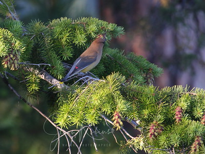 Cedar Waxwing--one feather dipped in red paint and the tail dipped in yellow.