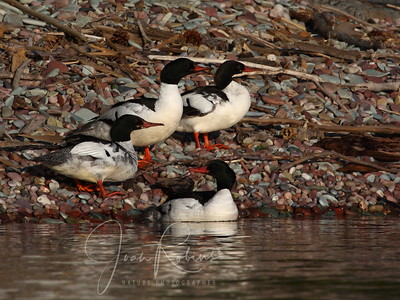 Some young Mergansers.