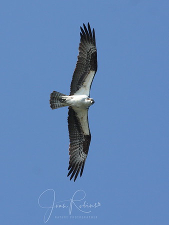 A passing Osprey takes a look.