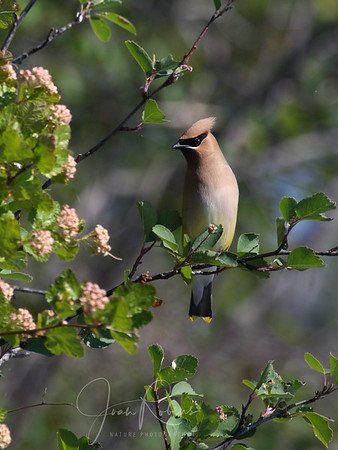 I pulled the kayak into a little bay and this fellow showed up. A Cedar Waxwing!