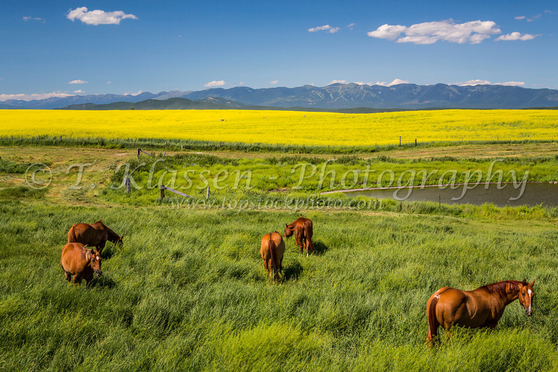 Horses grazing in the pasture near Kalispell, Montana, USA.