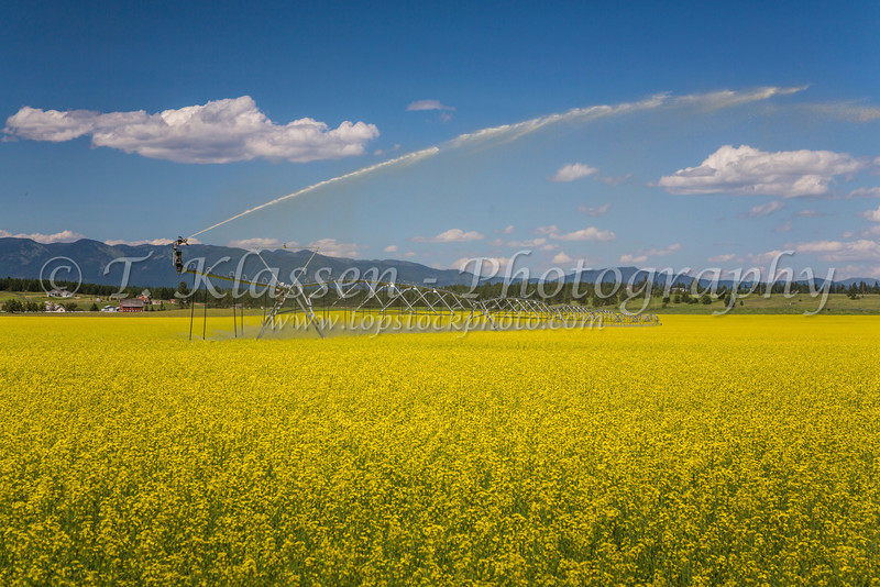 Water irrigation on a yellow blooming canola field near Kalispell, Montana, USA.