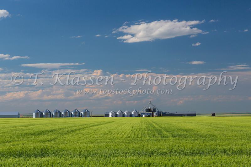 A wheat field with the Pardue Grain Company storage facilities near Cut Bank, Montana, USA.