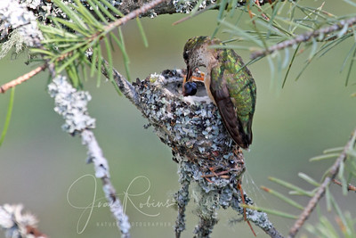 July 17: We have at least one baby Calliope Hummingbird