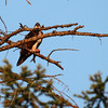 A common sight--Osprey with fish