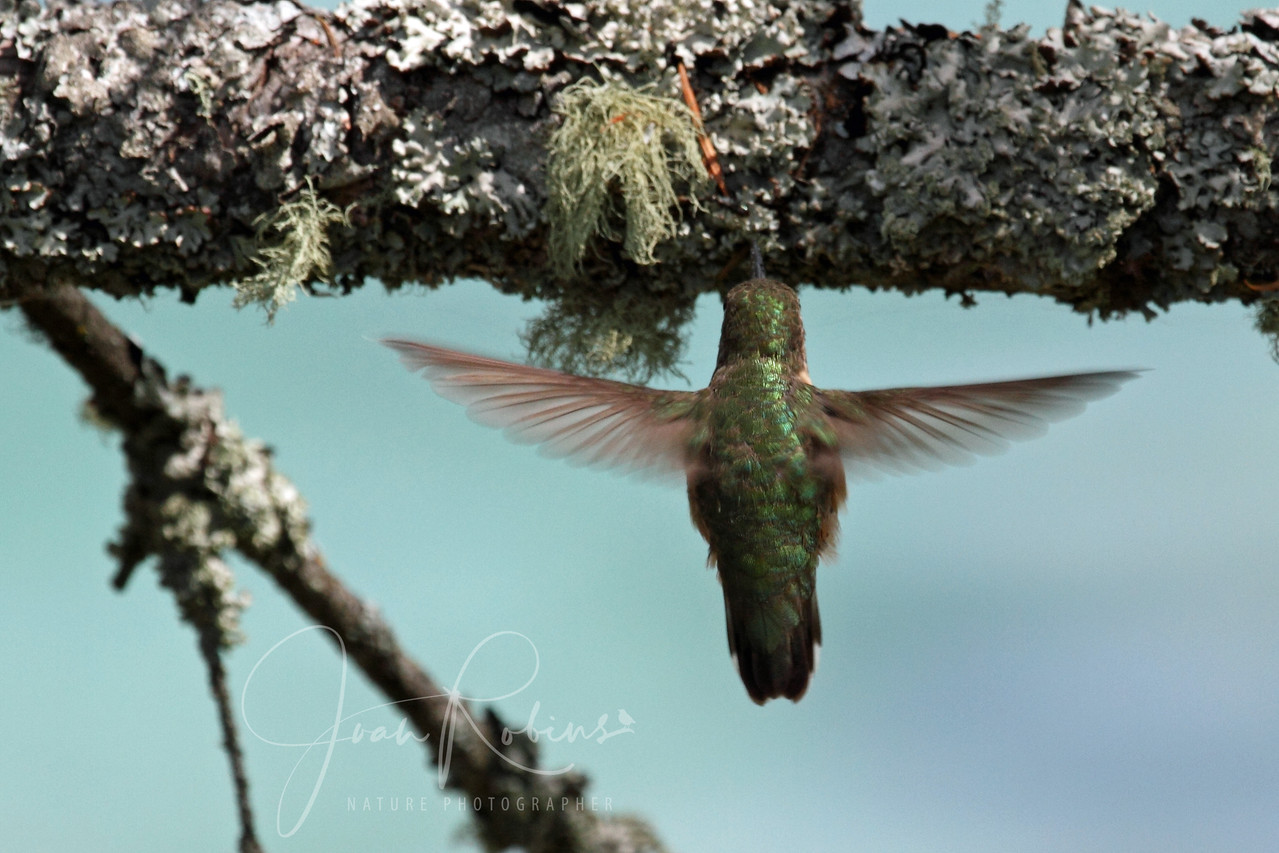 Calliope Hummingbird gathering bugs for chicks, Flathead Lake, Montana.