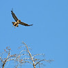 Redtail Hawk on the hill in White Swan Bay.