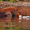 Merganser and merganser colors