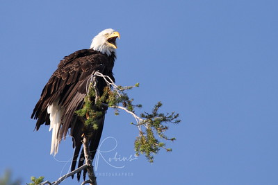 The Osprey from the nearby nest hears the Eagle call and dive-bombs him to drive him away. Flathead Lake, Montana.