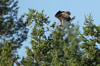 Finally the Osprey flies, but not to fish.