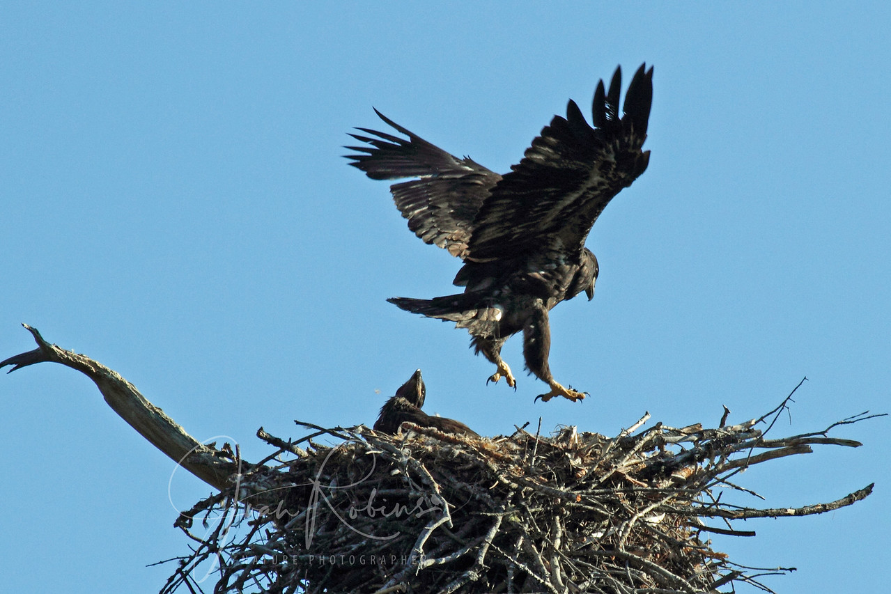 Bald Eagle chick practicing, Flathead Lake, Montana