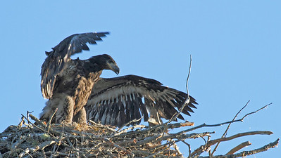 Bald Eagle chick testing wing-power--less down and more feathers!