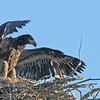Bald Eagle chick testing wing-power--less down and more feathers! Flathead Lake, Montana