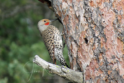 6/6 Northern Flicker getting a nest ready