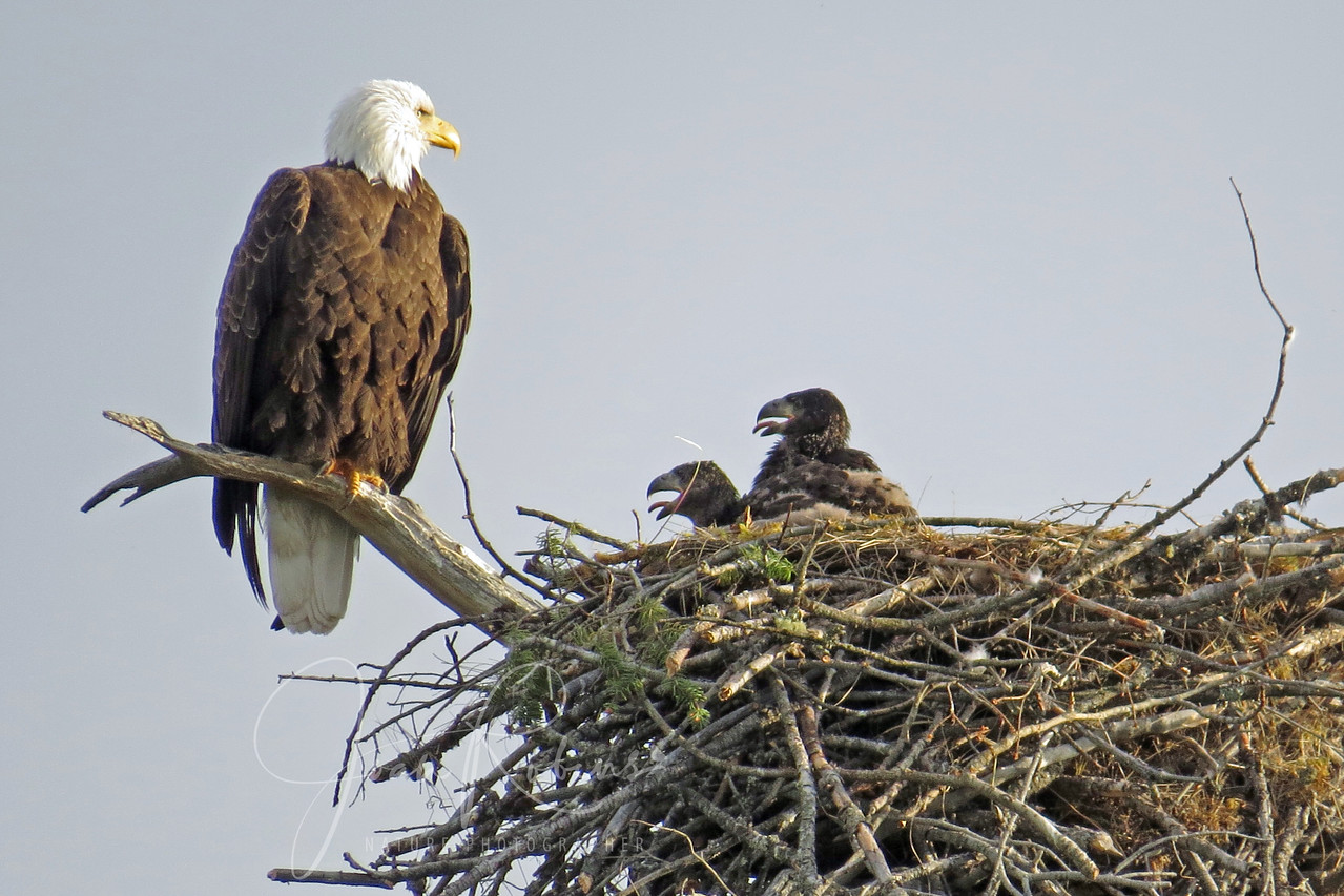 Bald Eagle chicks, Flathead Lake, Montana