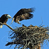 6/7/2013 Male Bald Eagle arrives with breakfast, Flathead Lake, Montana
