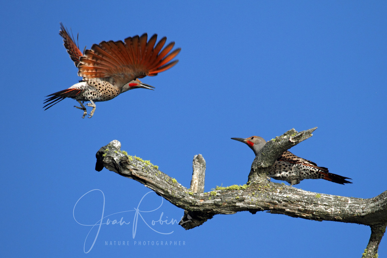 Male Norther Flickers have a game of tag. Flathead Lake Montana.