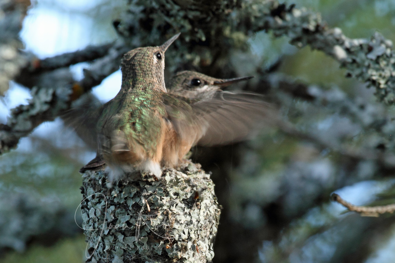 Calliope Hummingbird chicks preparing to fledge, Flathead Lake, Montana
