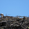 Osprey in nest next door to Judy. We hope the July 4th fireworks don't destroy this family