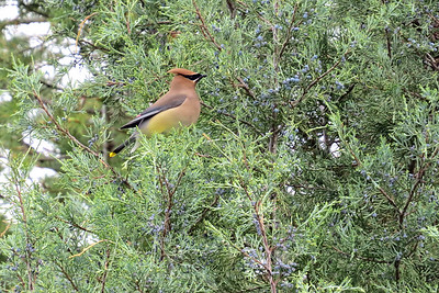 Cedar Waxwing in tree right next to the deck