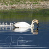 Trumpeter Swans, Ninepipes Wildlife Area, Montana