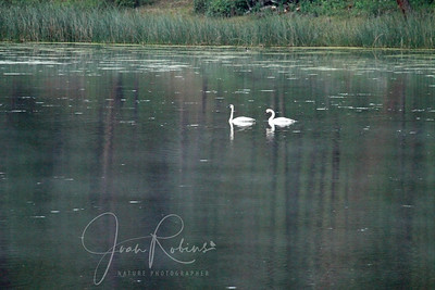 Trumpeter Swans on a dark day