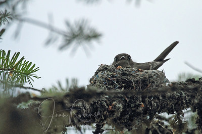 Mom Western Wood Pewee