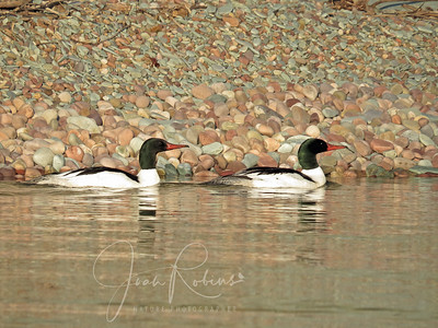 Common Mergansers - male