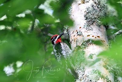 Red-naped Sapsucker--captured the one morning Steve slept in!