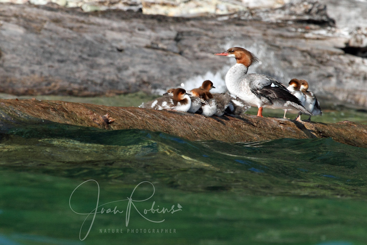 Merganser and family on Flathead Lake, Montana