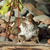Spotted Sandpiper and two chicks hiding, Flathead Lake, Montana