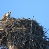 calling from the nest