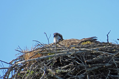 Osprey Mom patiently sitting--I check most mornings. We spent this day doing odds and ends around the house and taking walks. Thank you, Steve, for helping me micro-adjust my 100-400 lens!