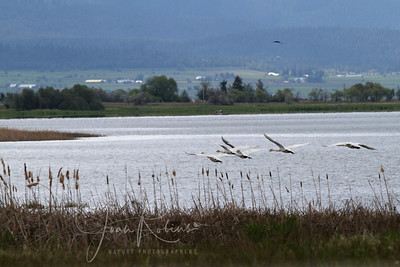 Trumpeter Swans from very very far away . . .