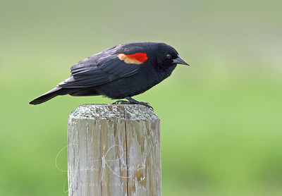 Red-winged Blackbird with yellow showing. At first I thought this was a tri-colored, but no, the books say that outside of California where only the red shows, most Red-winged Blackbirds have a yellow stripe as well.