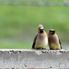 Cedar Waxwing Comedy Team